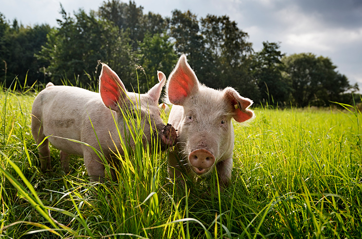 Local charcuterie_distributor_pigs in the grass